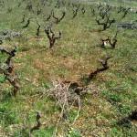 Stari vinograd u slobodnom uzgoju