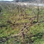 Vinograd orezan