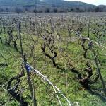Stari vinograd